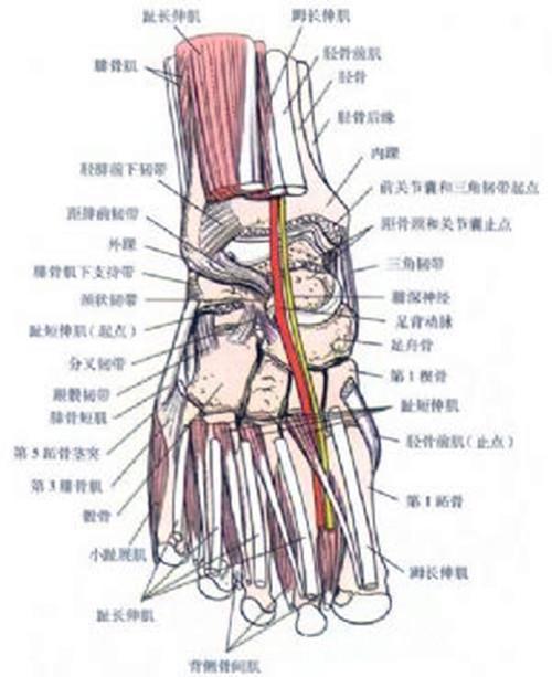 手腕关节解剖图,肩锁关节解剖图,下尺桡关节解剖图